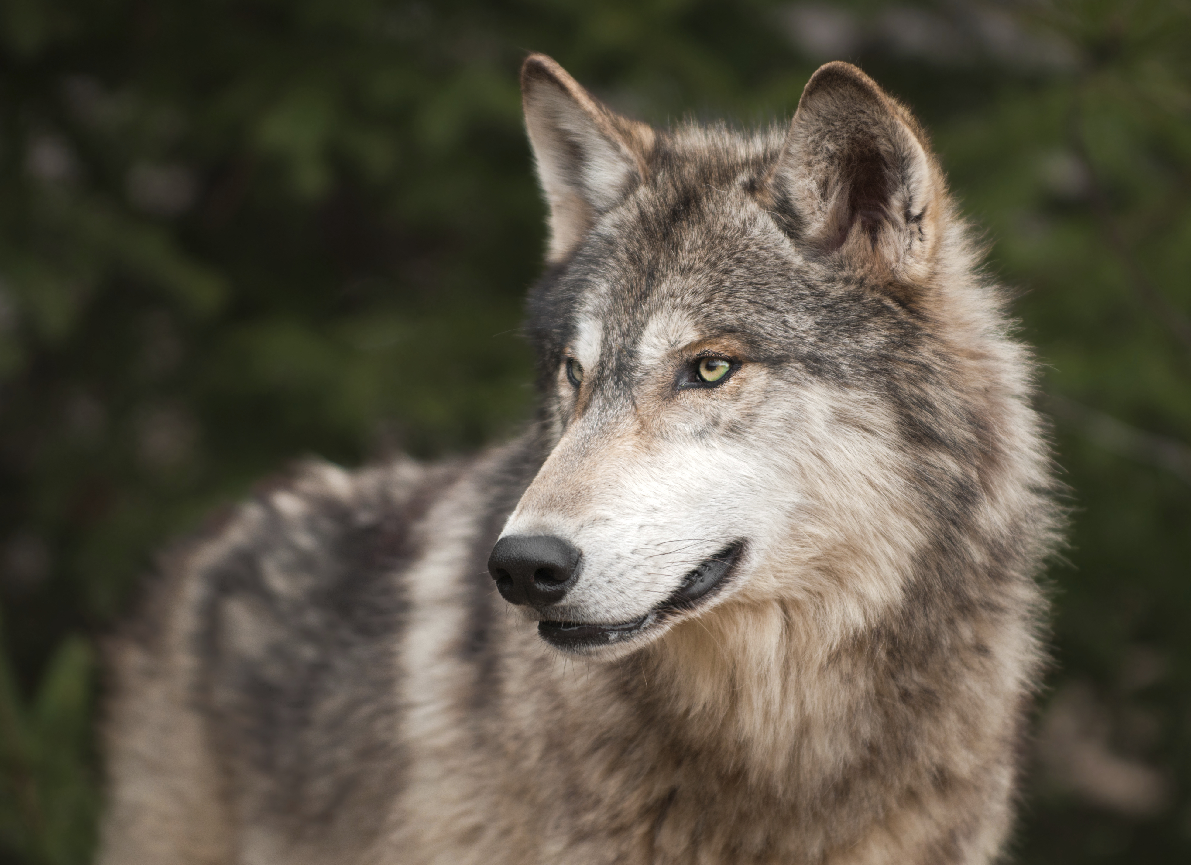 Black And White Hps Open Sign Ups Wolf Sled Dog Rp